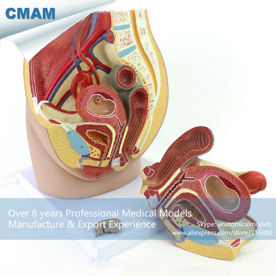 12472 CMAM-ANATOMY34 Human Full Size Female Pelvis Section w/ 8 Weeks Infant Anatomical Model, 3part cmam viscera01 human anatomy stomach associated of the upper abdomen model in 6 parts