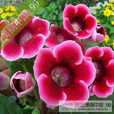 semillas bolsa gloxinia semillas de plantas flores plena sinningia gloxinia bonsai para el jardn de la flor en maceta plantadores en bonsais de hogar