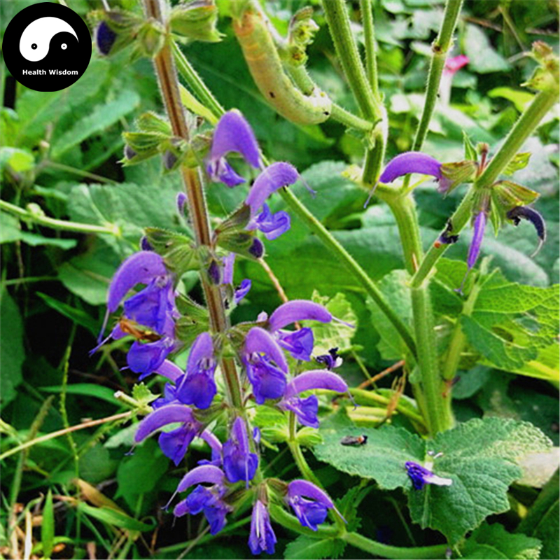 best chinese salvia ideas and get free shipping - bjj2c06a