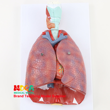 Модель дыхательной системы, дыхательные пути, гортань, легкие, сердце, человеческий орган анатомическая модель медицинская обучение MHXXT003