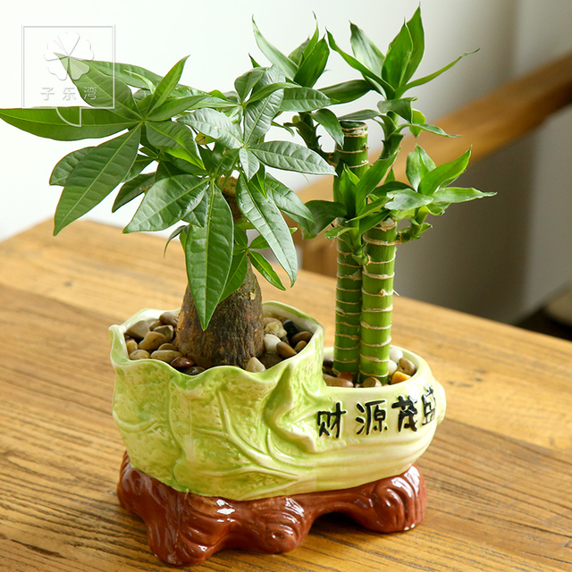 Pachira Lucky Bamboo Plants Inside Steadily High Green Plants Potted Bonsai  Radiation Combination Office Desktop