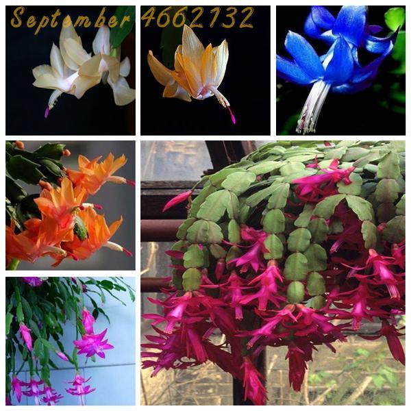 100 Pcs Zygocactus Truncatus Bonsai Rare Schlumbergera Bonsai Orchid Bonsai Bonsai Flower Multi-Colored Choose DIY For Home Gard