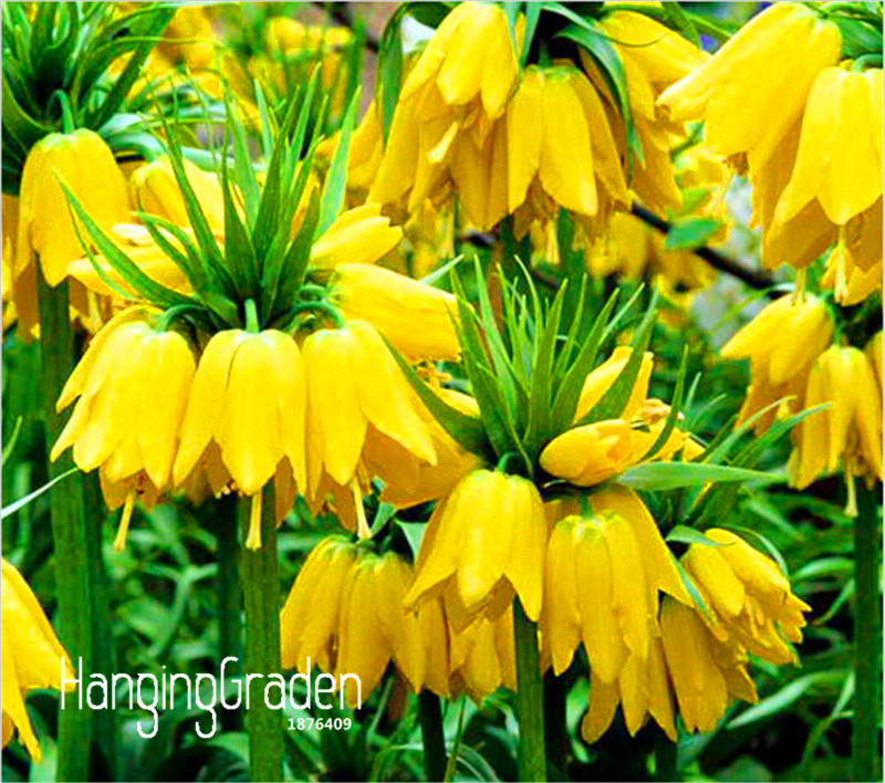 Big Sale!10 Pcs/Lot Yellow Imperial Crown Seeds imperialis Lutea Seeds Easy To Grow Home Garden Ground Cover Plant,#QGGHTX