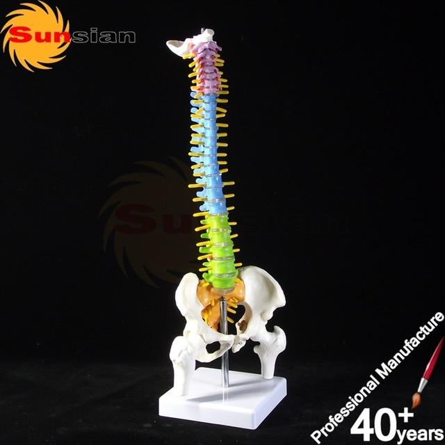HOT Half Size Vertebral Column with Pelvis Model, Vertebrae Model, Spine Model,colored spine model