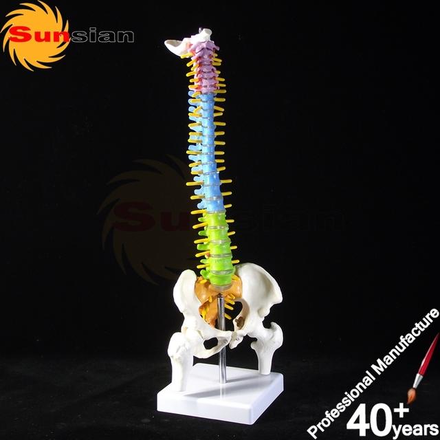 Metade Do Tamanho da Coluna Vertebral com a Pelve Modelo QUENTE, Modelo vértebras, Modelo de coluna vertebral, colorido modelo de coluna vertebral