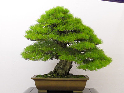 Aliexpress.com : Buy Japanese Black Pine, Bonsai Tree ...