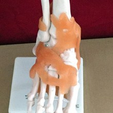 Анатомическая модель сустава лодыжки для ног в натуральную величину с связями-медицинская образовательная помощь