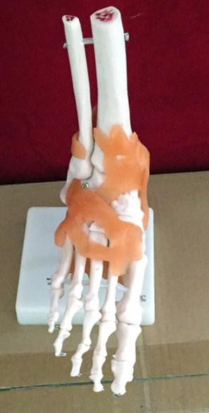Ciência Médica life-size pé conjunta da articulação Tipo : Modelo de Esqueleto