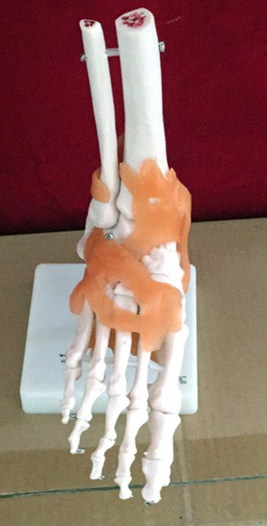 life-size foot joint Ankle joint model  Anatomical Human Foot Joint With Ligaments - Medical Educational Training Aid plastic standing human skeleton life size for horror hunted house halloween decoration