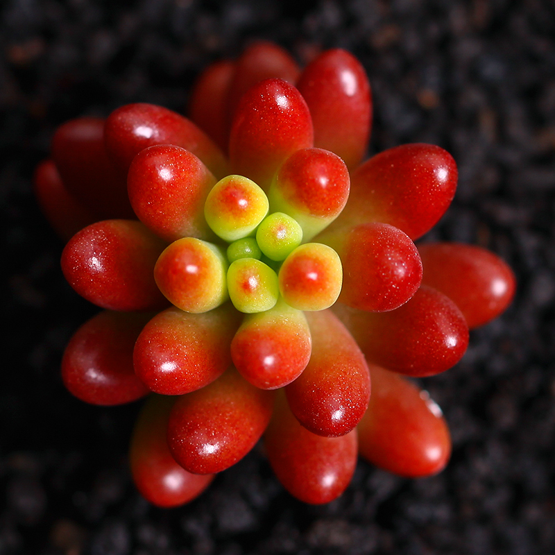 100 Pcs Very Rare Mini Red Succulent Plants Mexico Rainbow Jade Merry Christmas Bonsai Plants For Home Garden 流水 盆 養魚