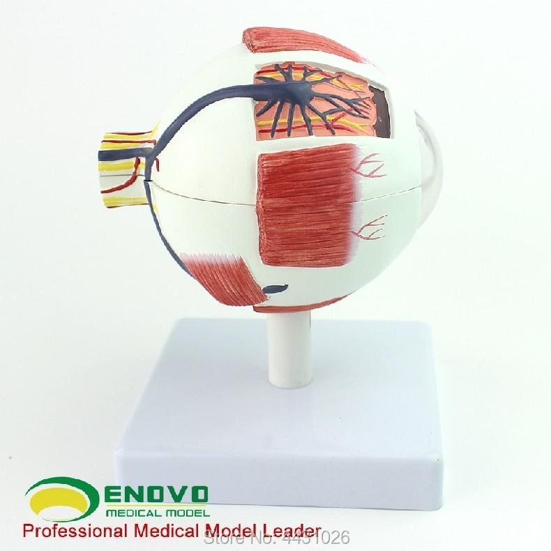 ENOVO Professional edition medical human eye anatomy model eye ...