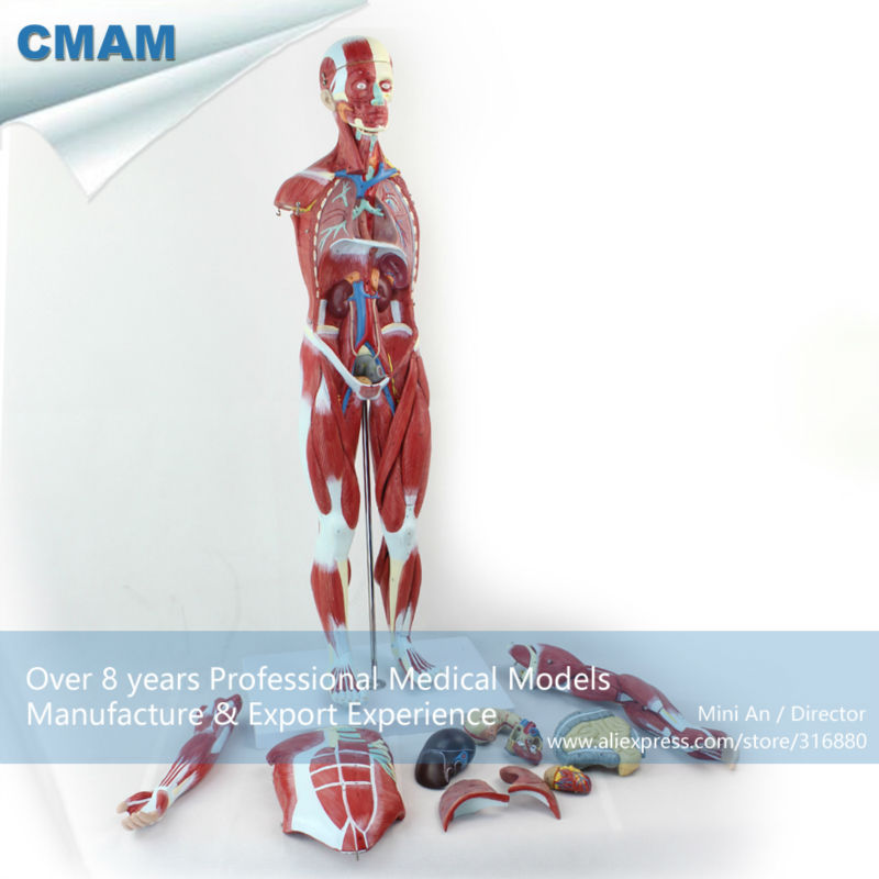 12023 CMAM-MUSCLE01 Numbered 78cm High Anatomical Human Muscular Figure Model, 27-parts, 1/2 Life Size cmam nasal01 section anatomy human nasal cavity model in 3 parts medical science educational teaching anatomical models