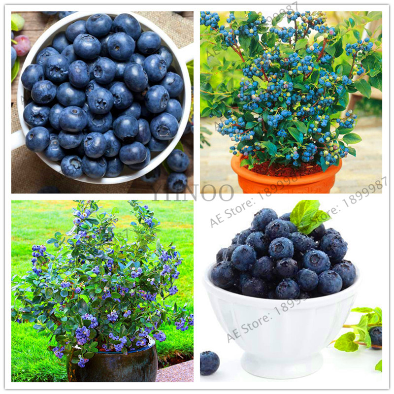 Potted Blueberry Garden Nutritious And Delicious Fruit Plants DIY Home Bonsai Rich In Anthocyanin 105 Particles / Lot