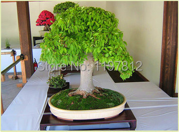 on sale!!!Mini Potted plants 5pcs Oak Tree Bonsai Seeds Quercus Alba Acorns seeds for DIY Home Garden Free Shipping