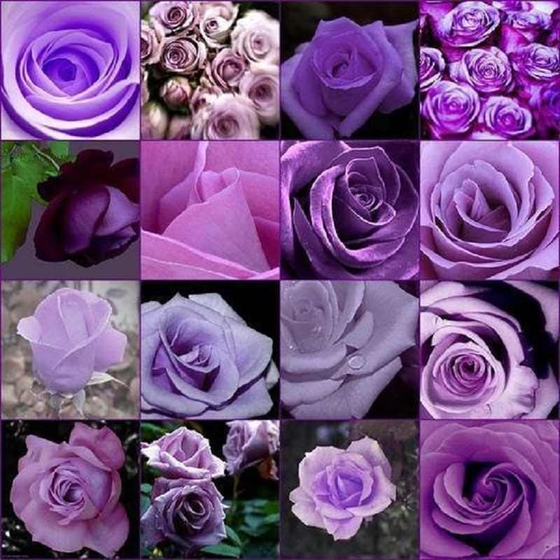 Rose 200pcs Cheap Rare Purple Rose Flower  Polyantha Outdoor House Plants Creepers Garden bonsai