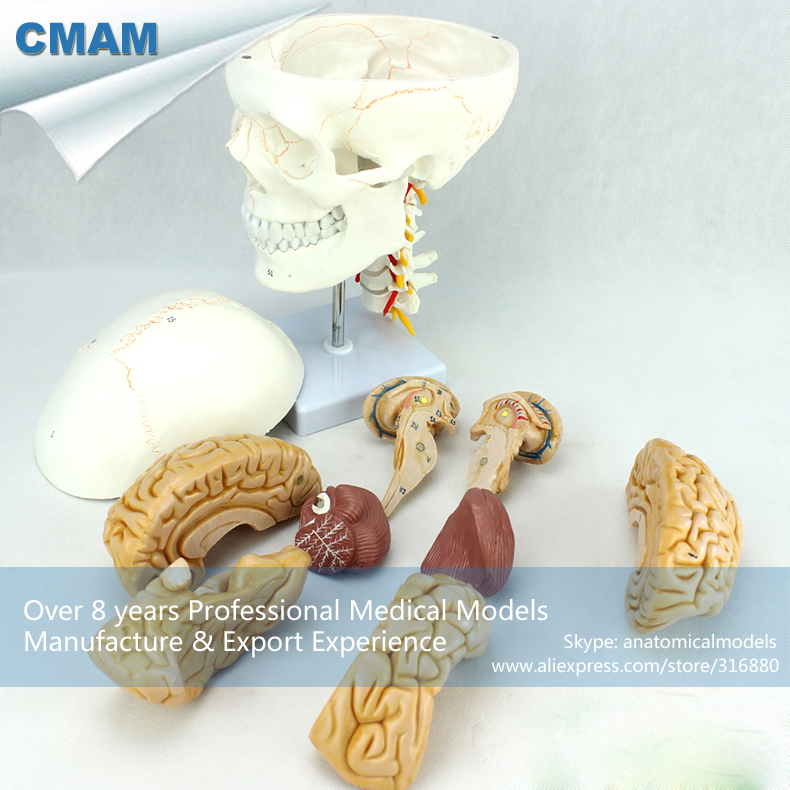 CMAM-SKULL01-1 Human Skull Model with Cervical Spine Model with Brain ,Medical Science Educational Teaching Anatomical Models brain mechanisms 1