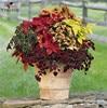 Coleus seeds Rare Coleus blumei Rainbow Mix Color Flower Seeds for Home Garden Indoor bonsai plants Coleus boleus seeds50pcs/bag