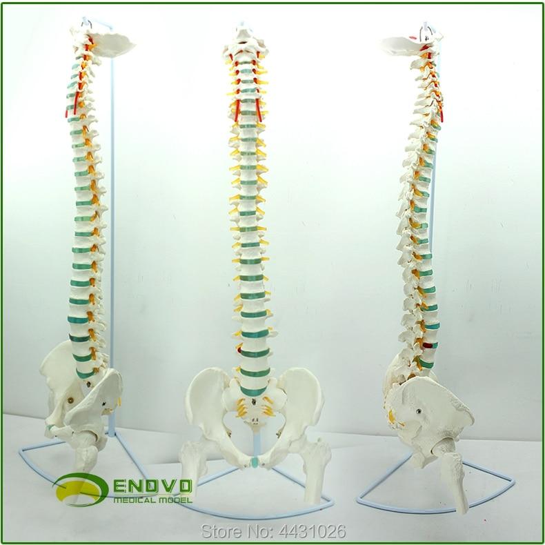 ENOVO Medical human spine model vertebra pelvic cervical thoracic vertebrae orthopedic bone model cmam tf01 c1 c7 cervical vertebra bones swabone models spine cervical cervical vertebrae