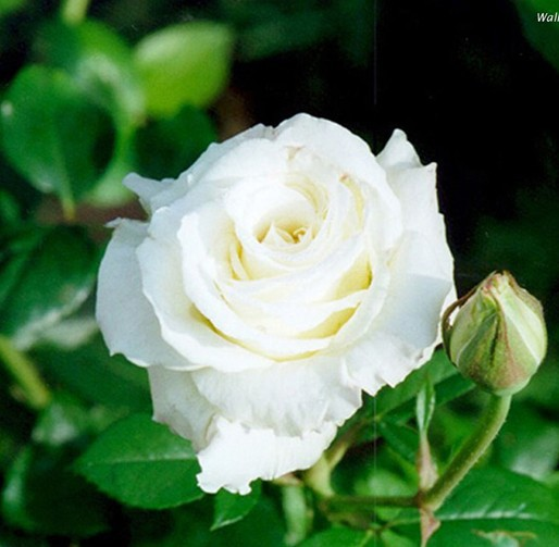 Cr secret garden 400 seeds china rare white rose seed flower bonsai cr secret garden 400 seeds china rare white rose seed flower bonsai lover dancing queen rose mightylinksfo