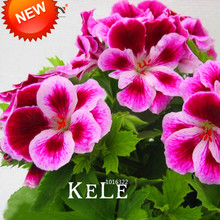 Big Promotion!20 Seed/Bag Maple Leaf Geranium Seeds, Perennial Flower Seeds Pelargonium Domesticum Flowers for Rooms,#8C5ZGW