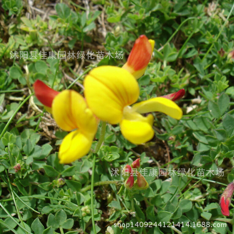 Authentic lotus root five leaf clover seeds high yield forage seeds aeproducttsubject lotus corniculatus mightylinksfo
