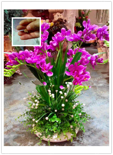 Rose Red Freesia Hybrida Bulbs Potted Flowers Potted Plant Roots ...