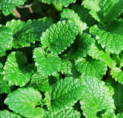 Fragrance Mentha Arvensis Aromatic Herb Plant Seeds