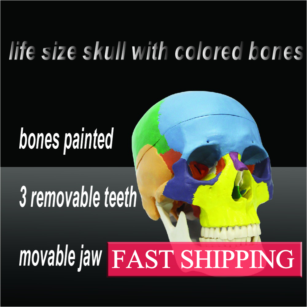 Colored to distinguish different regions Skull model of human пылесос bosch pas 18 li set 0 603 3b9 002