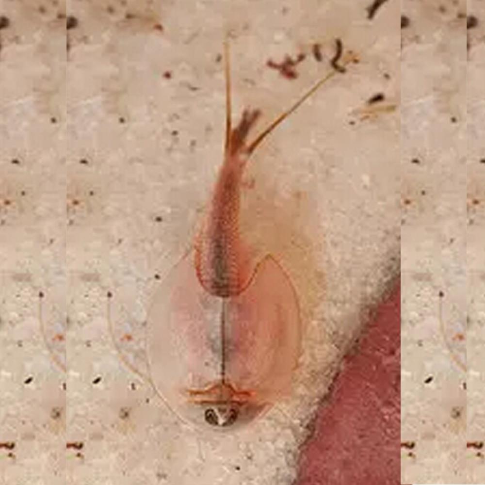 15mm l macaco do mar magia viva brinquedo animal fada salmoura camarão crescendo ao vivo artemia salina lagostins camarão engraçado crianças brinquedos