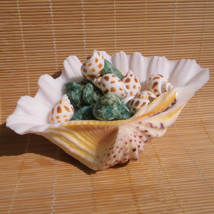 Aqumotic Sea Shells Large 1pc Natural Shell Specimen Flower Shell Home Decoration Plate Fruit Dish Each Is Unique