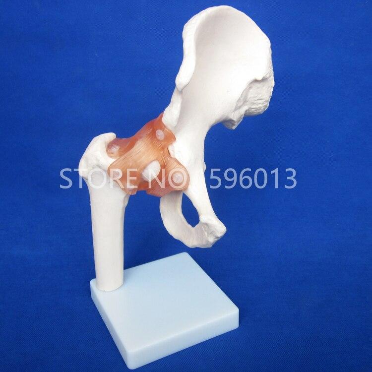 HOT Life-Size Hip Joint Model, Anatomical Joint Model with Ligament, Bone ModelHOT Life-Size Hip Joint Model, Anatomical Joint Model with Ligament, Bone Model