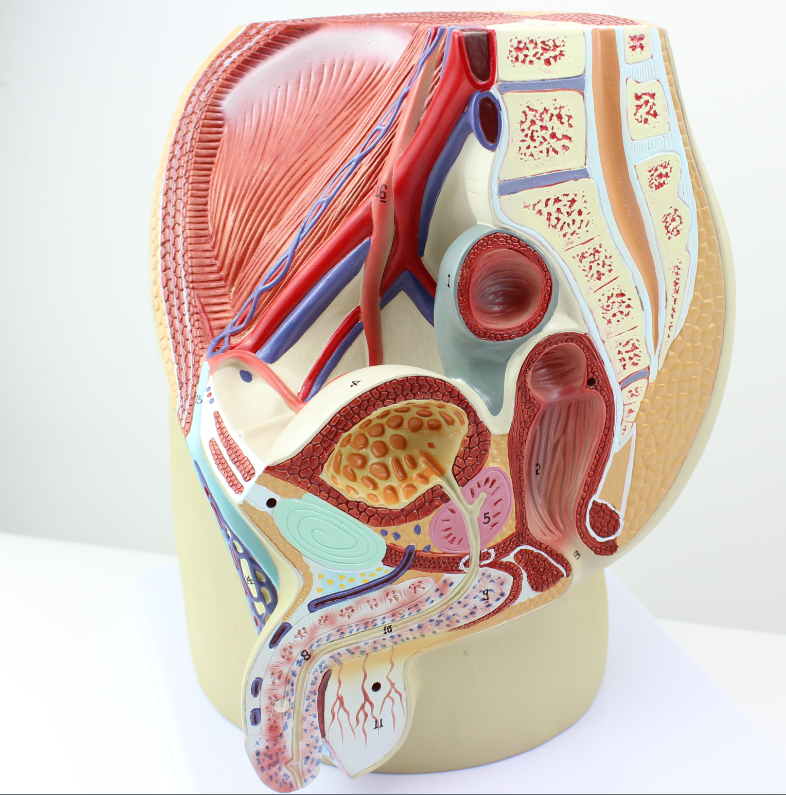 Colorful Male Genitalia Anatomy Component - Anatomy And Physiology ...