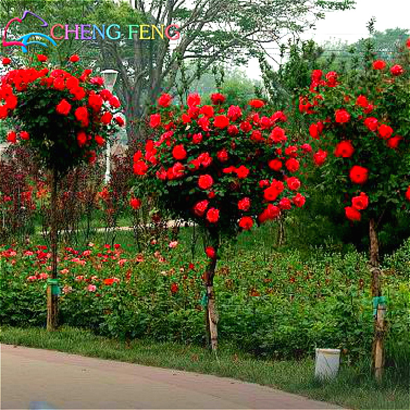 Rainbow Rose Plant Promotion-Shop for Promotional Rainbow