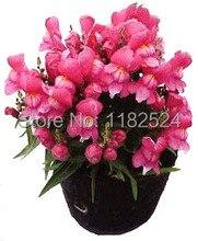 $0.99/Pack Common Snapdragon – Antirrhinum majus Seeds bonsai plant flower Seeds