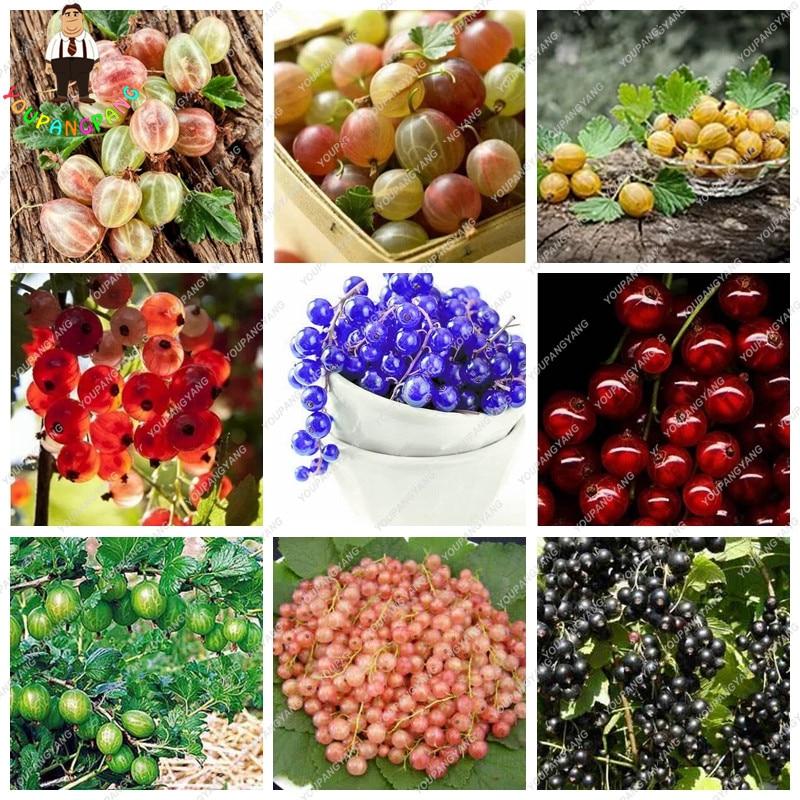 Gooseberry Fruit, Juicy Currant Seeds Organic Fruit Seeds Nutritious Bonsai Food Seeds Plant For Home Garden Pot 50 Pcs/bag