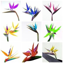 Balcony Potted Flowers Strelitzia Seeds Bonsai Bird Paradise Plant Seed Home Garden Planting 100 Particles / lot