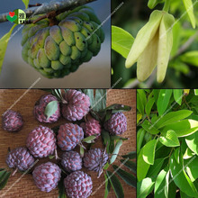 10 pcs Custard apple fruit, Buddha's head fruit, Rare Giant Cherimoya seeds,Sugar Apple, SweetSop, Annona Tree Seeds 10 bags bag cherimoya fruit pot plant plant family bonsai plant health sugar apple sweetsop annona tree plant