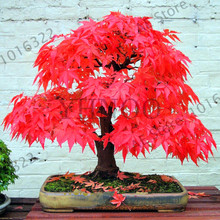 Loss Promotion!100% True Japanese Red Maple seeds Bonsai Tree Seeds Professional Pack Very Beautiful Indoor Tree 20PCS home gard