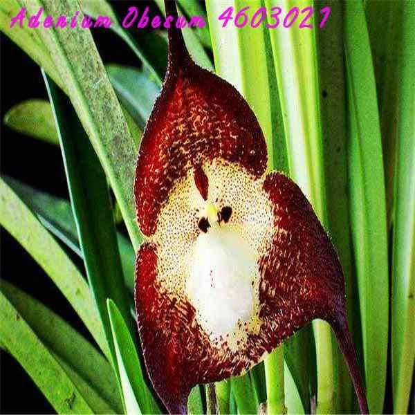חדש! 100 pcs נדיר יפני קוף הפנים סחלב בית גן צמח בונסאי סוגים של חידוש סחלב טרופי אזור קל לגדול