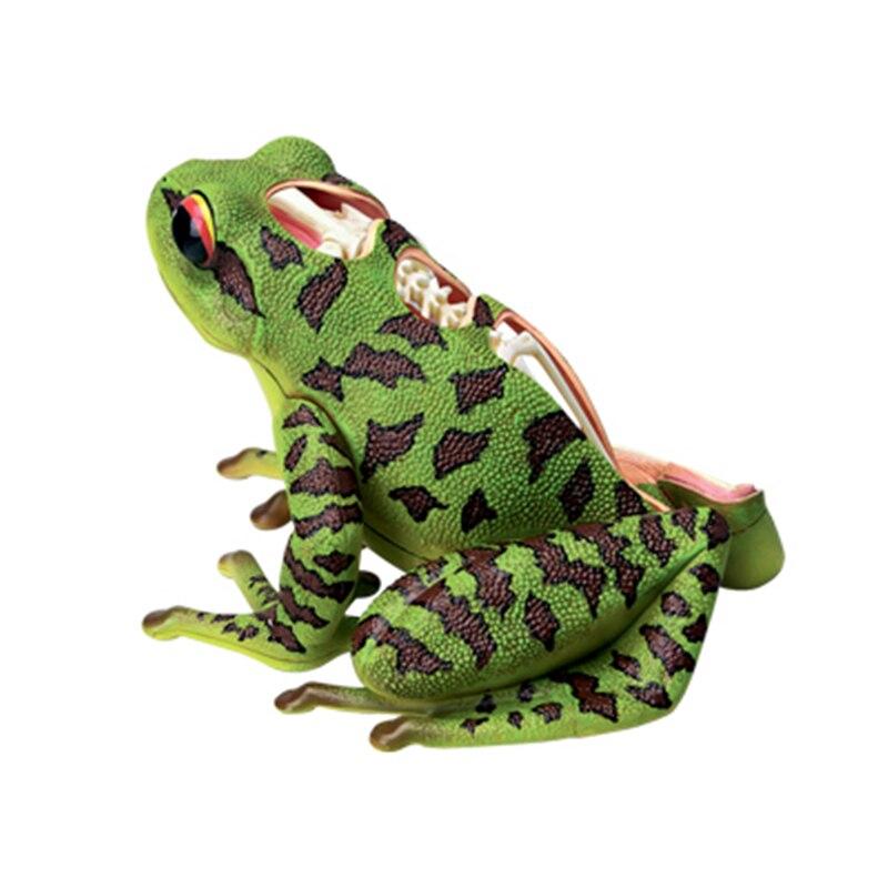 4D Frog Intelligence Assembling Toy Animal Organ Anatomy Model Medical Teaching DIY Popular Science Appliances