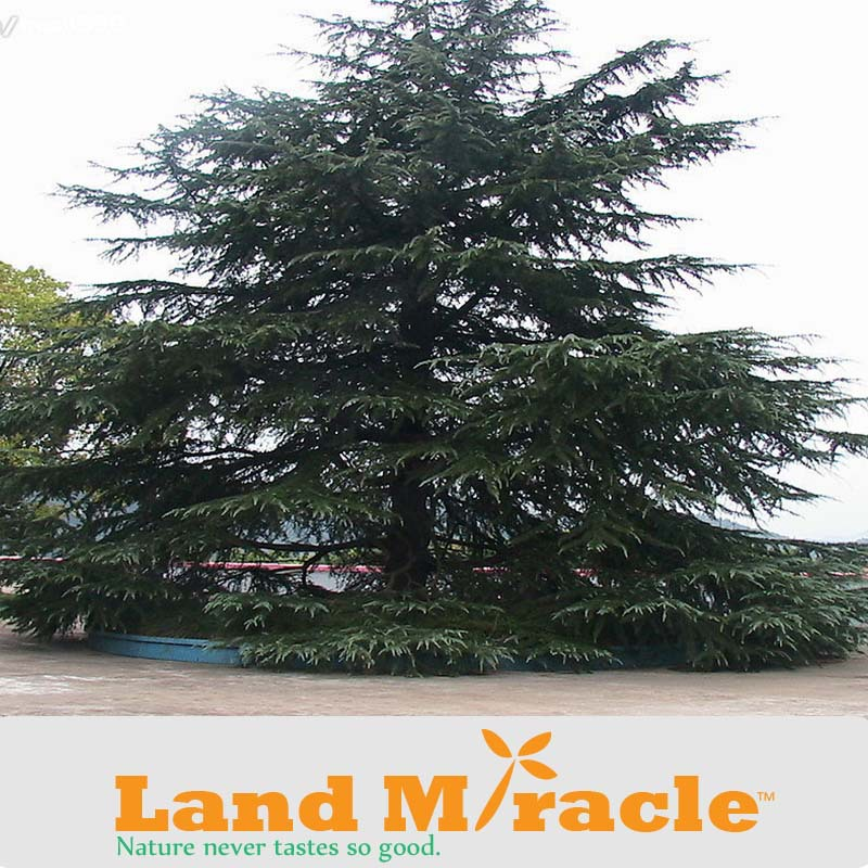 1 Professional Pack, 100 seed/ Pack, Deodar Cedar white pine, Tree seed New Arrival Home Garden Plant Evergreen Land Miracle
