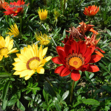New Arrivals 100pcs / bag Red Chrysanthemum Gazania Seed Perennial Flowering Plants Potted Flowers Seeds DIY Home Garden