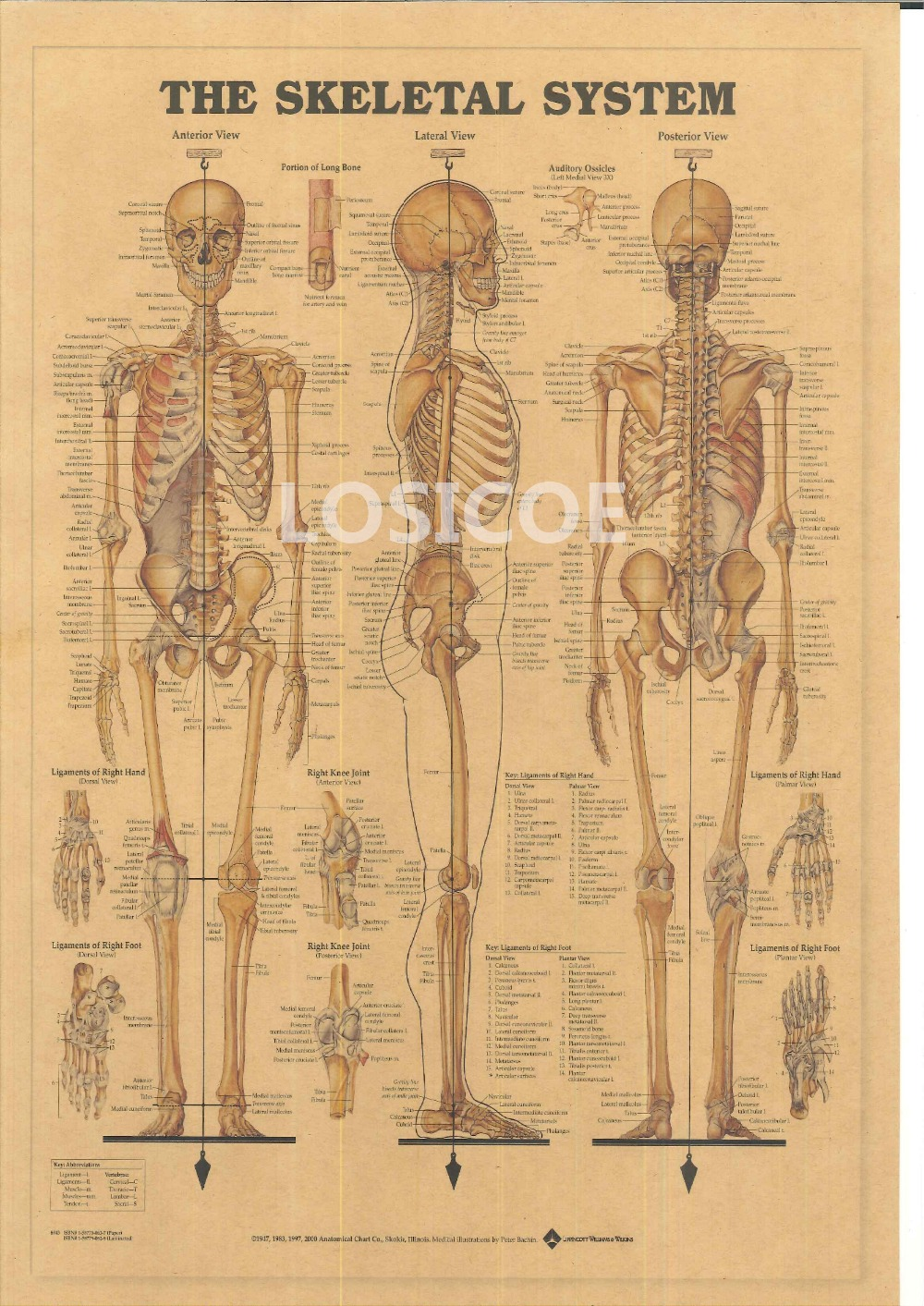 The Skeletal System Vintage Posters Kraft Paper Painting Wall
