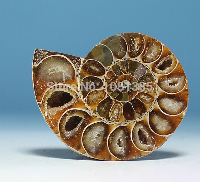 FOSSIL MADAGASCAR AMMONITE - SIZE 30 - 40mm 1