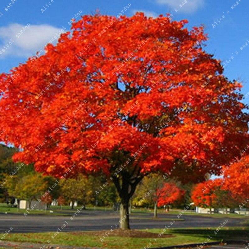 ZLKING Exotic 5pcs Red Oak Tree Bonsai Hot Selling Rare
