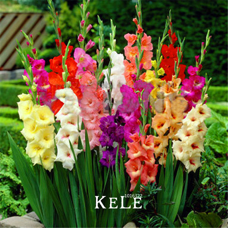 Time-Limit!!Cut Gladiolus Seeds Flower Seeds Perennial Potted Plants Indoor Aerobic Gladiolus Flower Seeds 100 PCS,#5OLQYJ