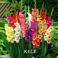 Buy  bic Gladiolus Flower Seeds 100 PCS,#5OLQYJ  online
