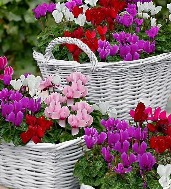 5-Cyclamen-Fleur-plante-d-int&eacute;rieur-couverture-du-sol-les-graines-de-fleurs-vivaces-jardin-et