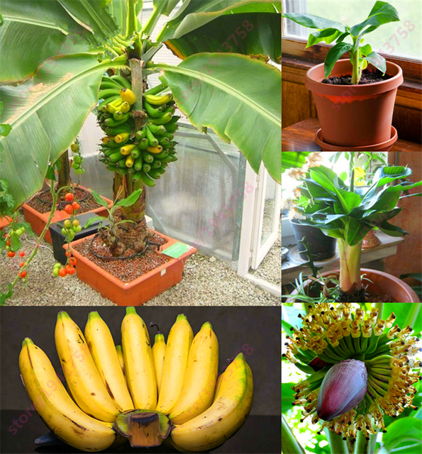200 Pcs Banana Dwarf Fruit Trees Milk Taste Outdoor Perennial Fruit