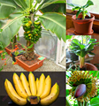200 pcs Banana ,dwarf fruit trees,Milk Taste,Outdoor Perennial Fruit For Garden plants